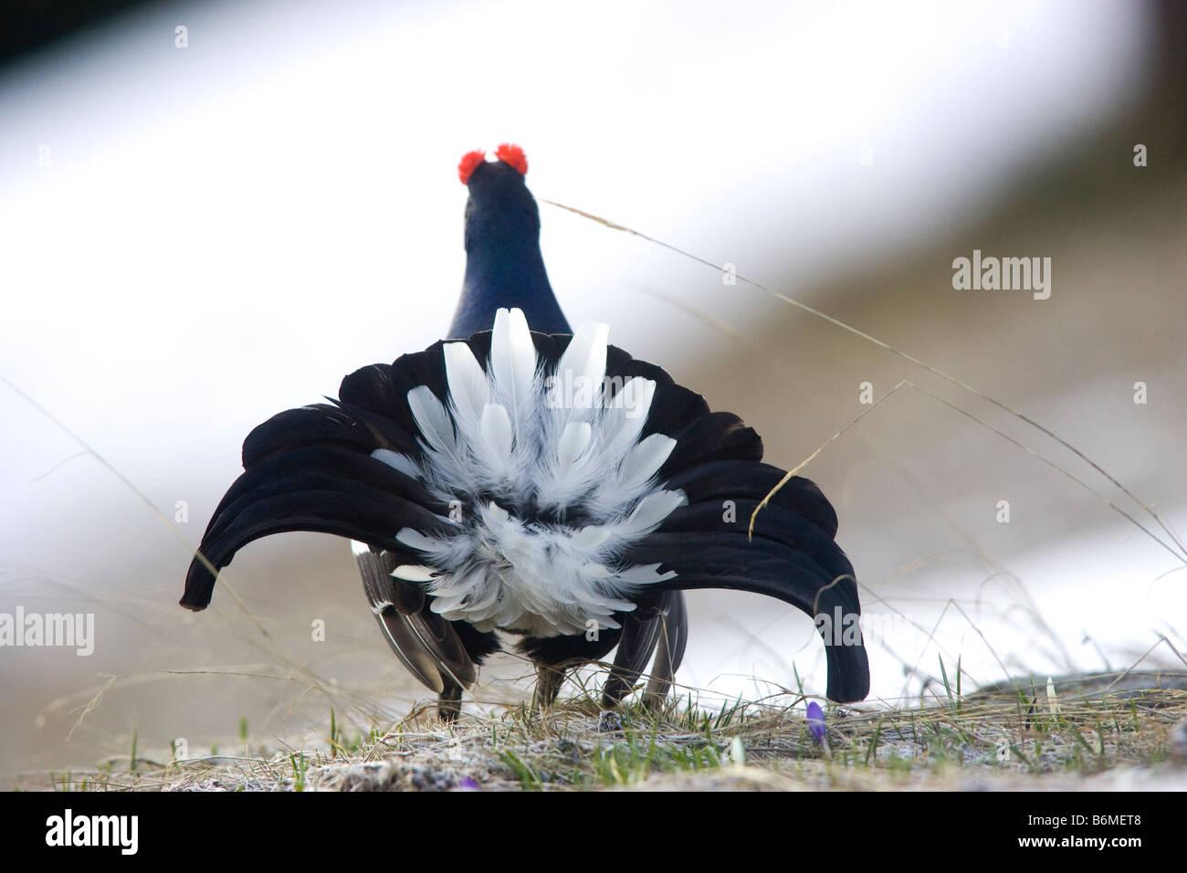 mating dance of birds. Back light - Stock Image