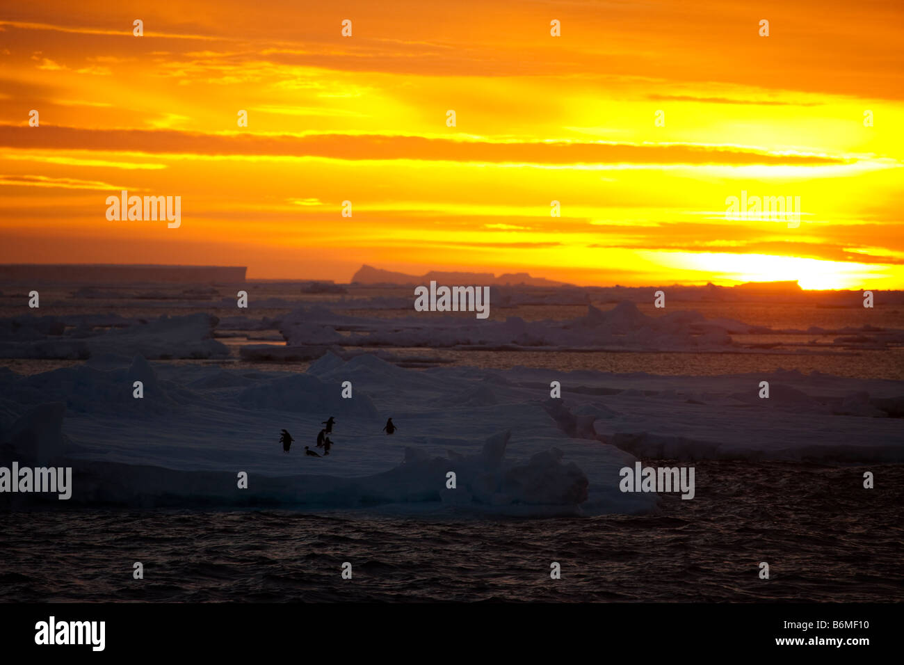 Bright Orange sky sunset overshadowing foreground icebergs, floating ice sheets with Adelie Penguins on Ice in Antarctica. Stock Photo
