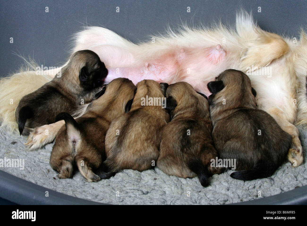 Tibetan Spaniel Puppies 14 Days Stock Photo Alamy