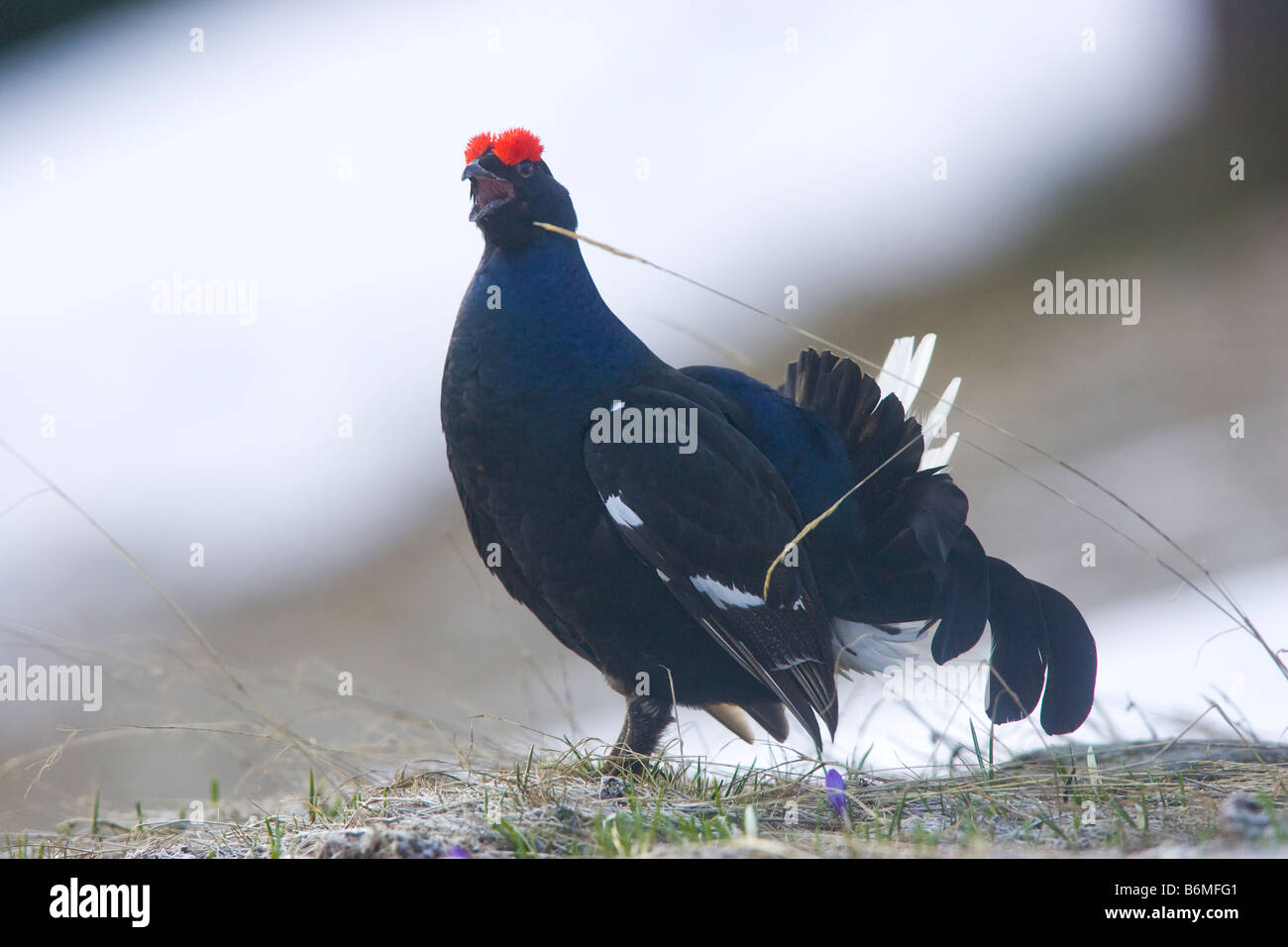 mating dance of birds - Stock Image