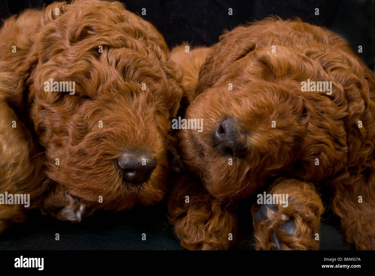 Red Standard Poodle Puppies 5 Weeks Old Stock Photo 21350094 Alamy