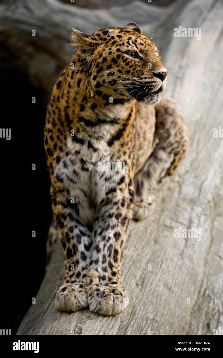 An Amur Leopard in captivity. - Stock Image