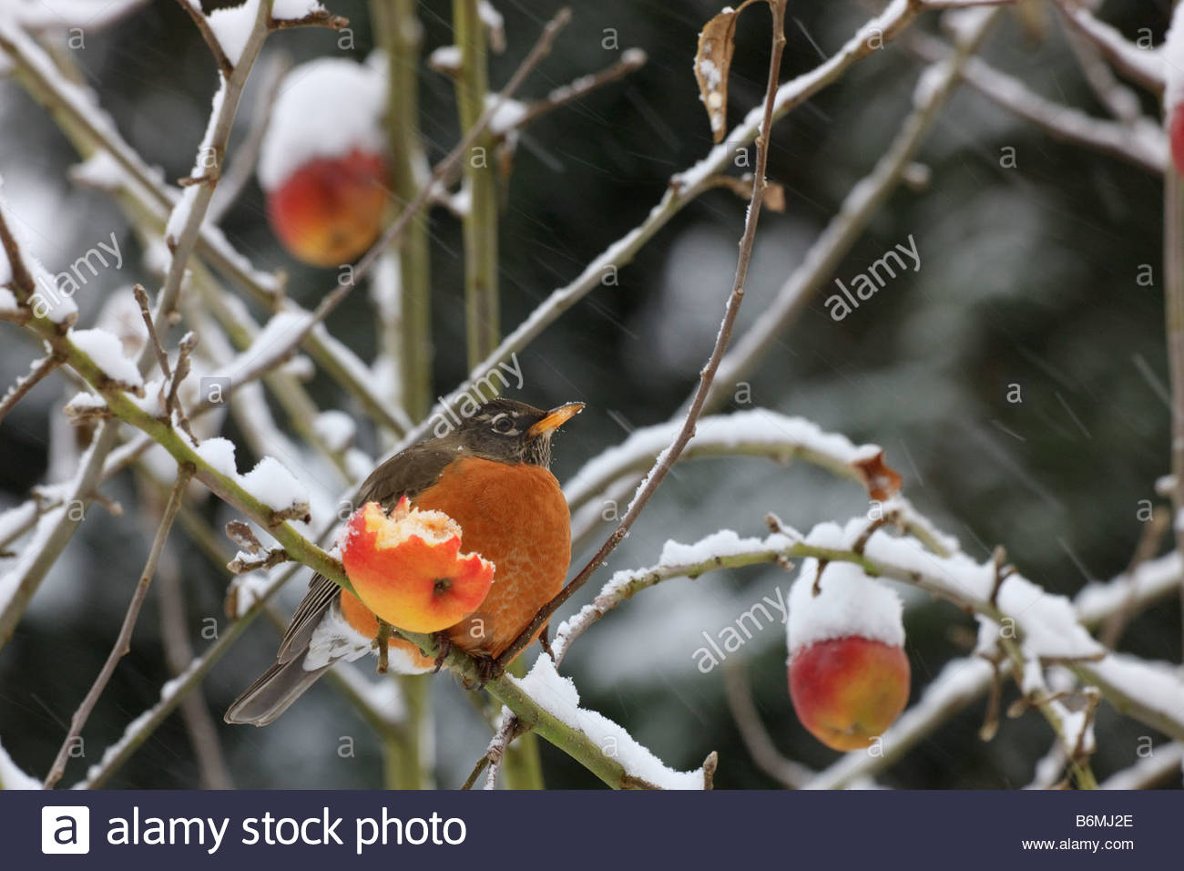 An American Robin (Turdus migratorius) feasts on an apple during a snowy winter storm in Western Washington. - Stock Image