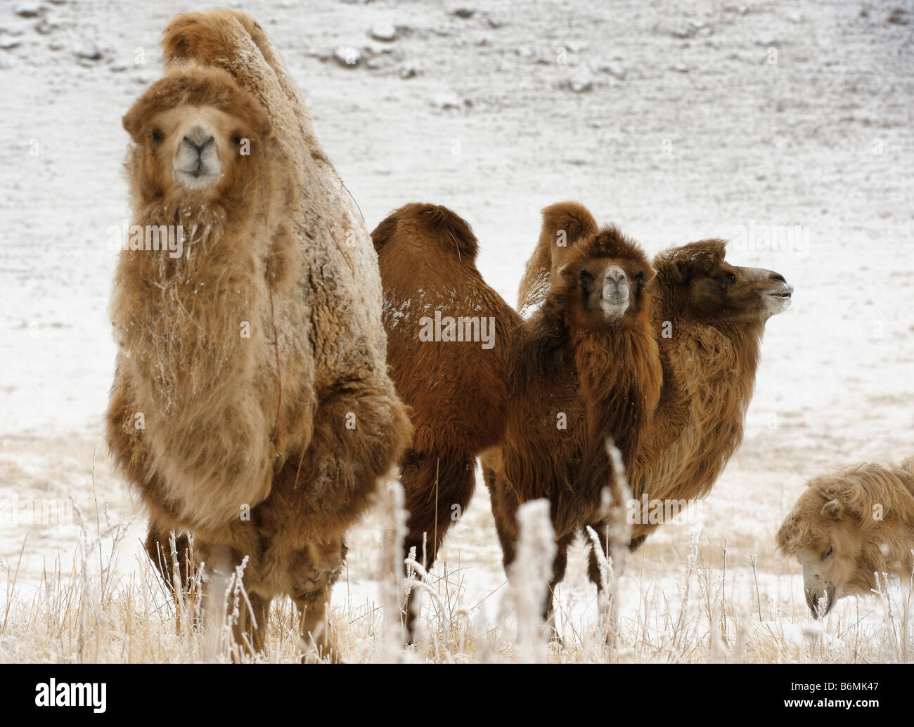 The Bactrian Camel - Stock Image