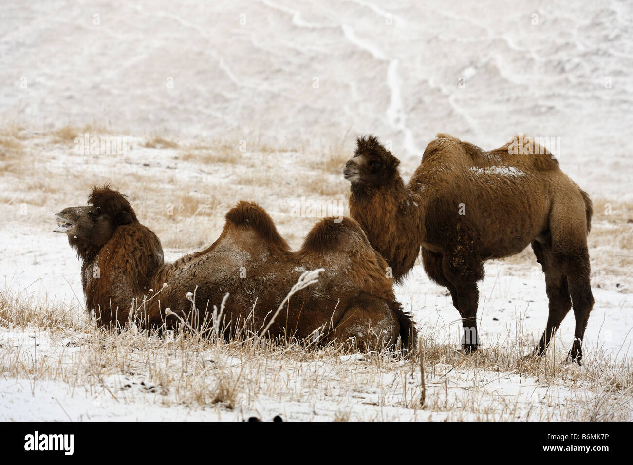 The Bactrian Camels, male and female in breeding season - Stock Image