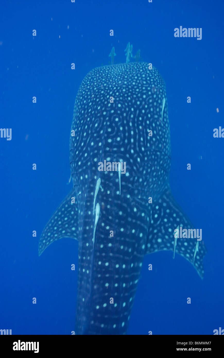 Whale Shark, Rhincodon typus, Mahe, Seychelles, Indian Ocean - Stock Image