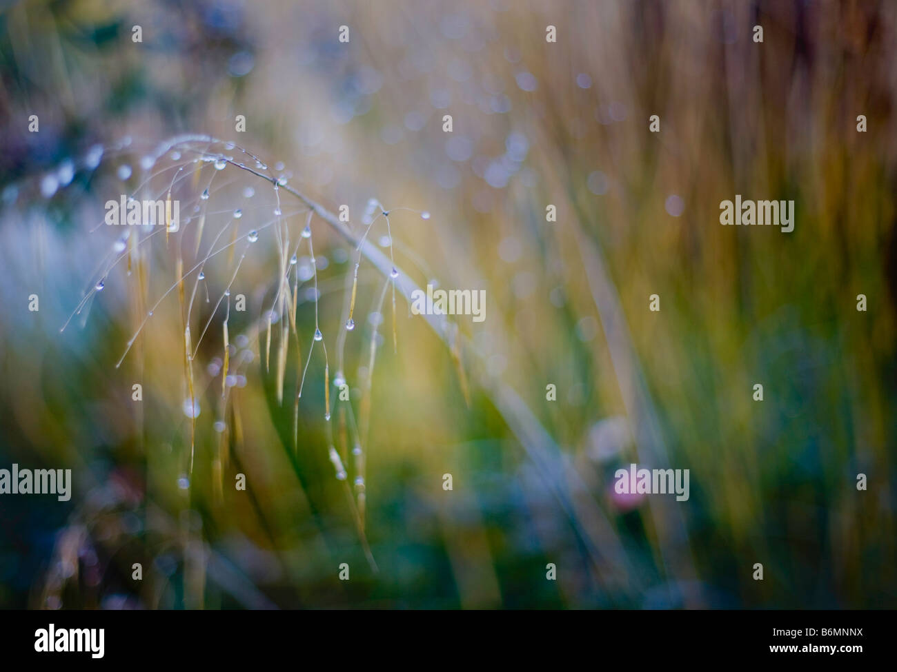 Stipa Gigantea - winter garden Stock Photo