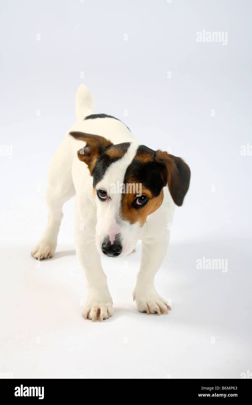 Jack Russell Terrier unsure - Stock Image