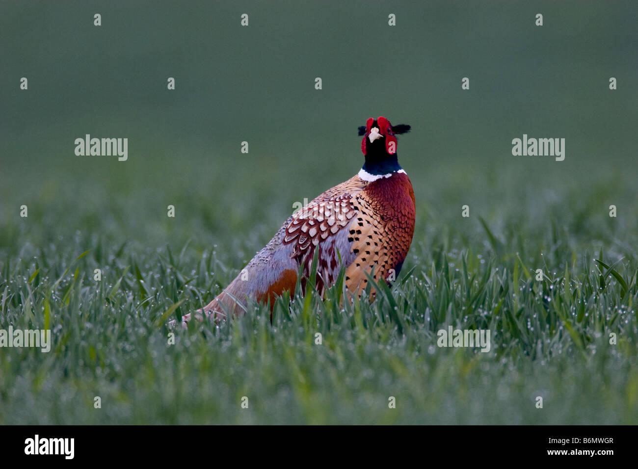 Pheasant Phasianus colchicus (Phasianidae) - Stock Image