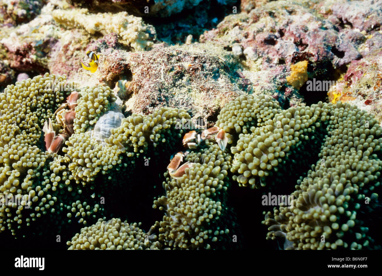 Spotted Porcellanid crabs in their anemone. Neopetrolisthes Maculatus. Malacostraca. Underwater marine life of the - Stock Image