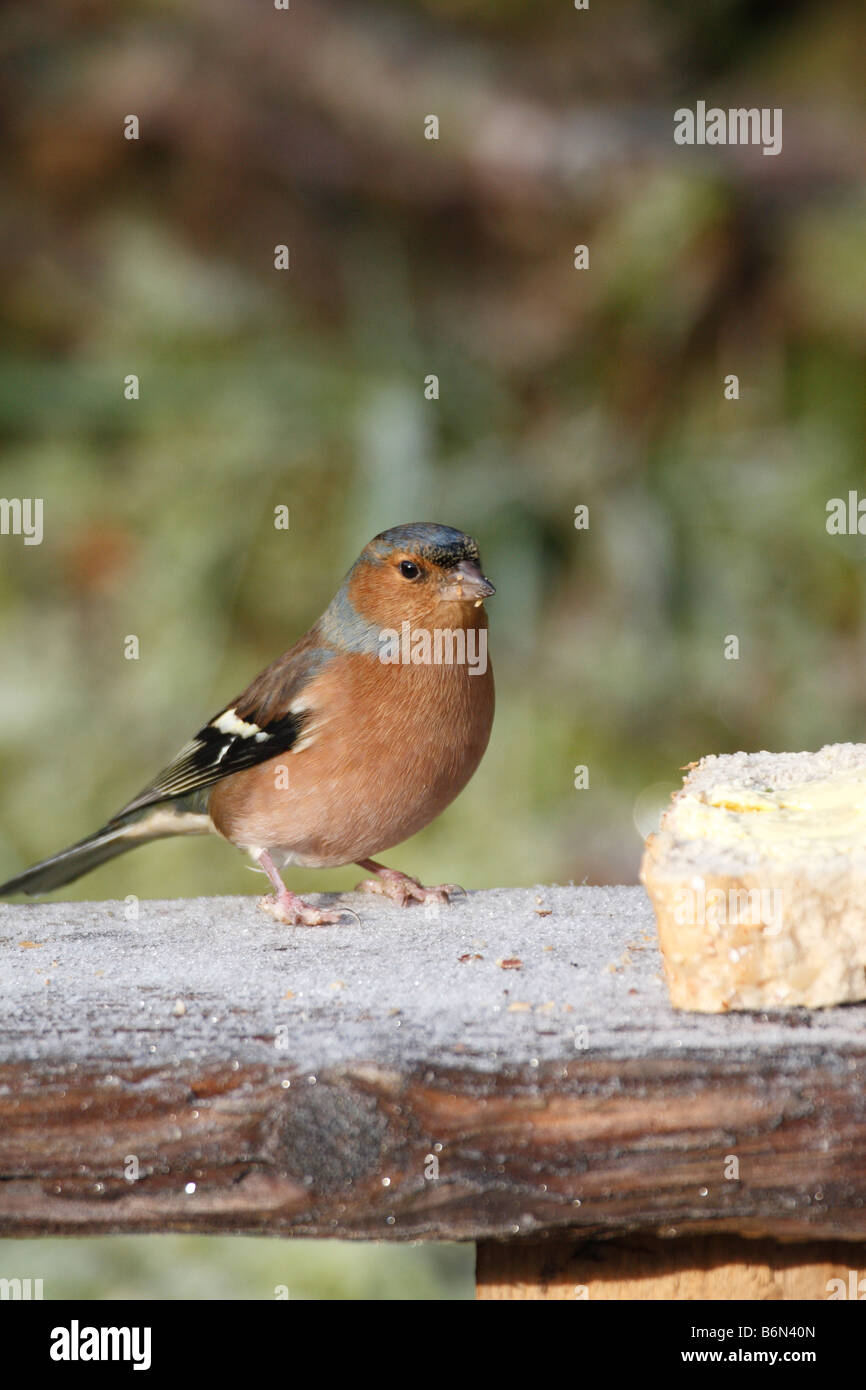 CHAFFINCH Fringilla coelebs MALE ON BIRDTABLE - Stock Image
