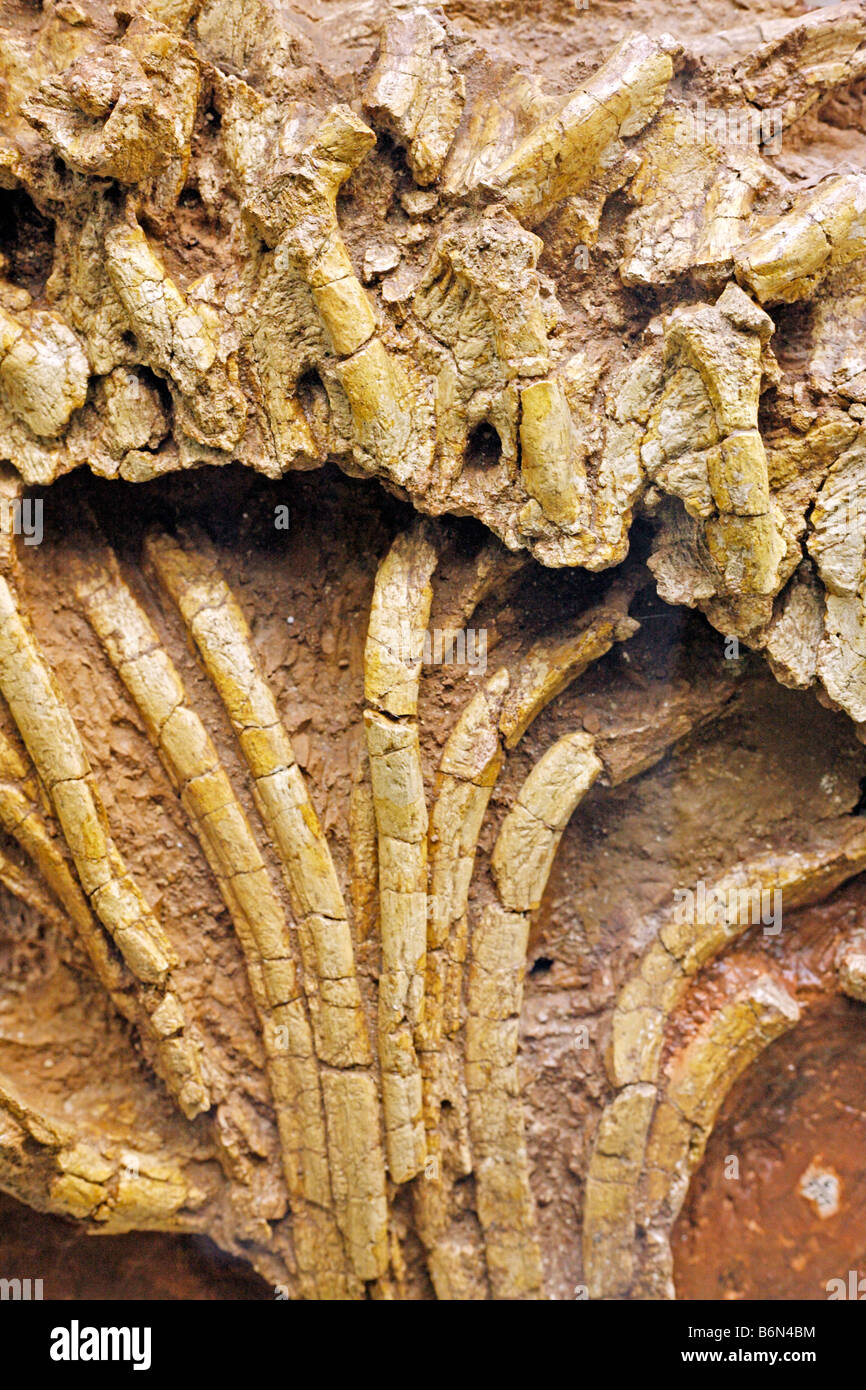 Fossils, Palaeontology museum, Moscow, Russia - Stock Image