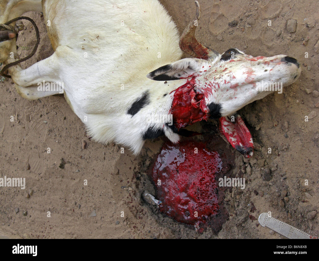 Tabaski or Eid Al Adha. The slaughter of a goat in a