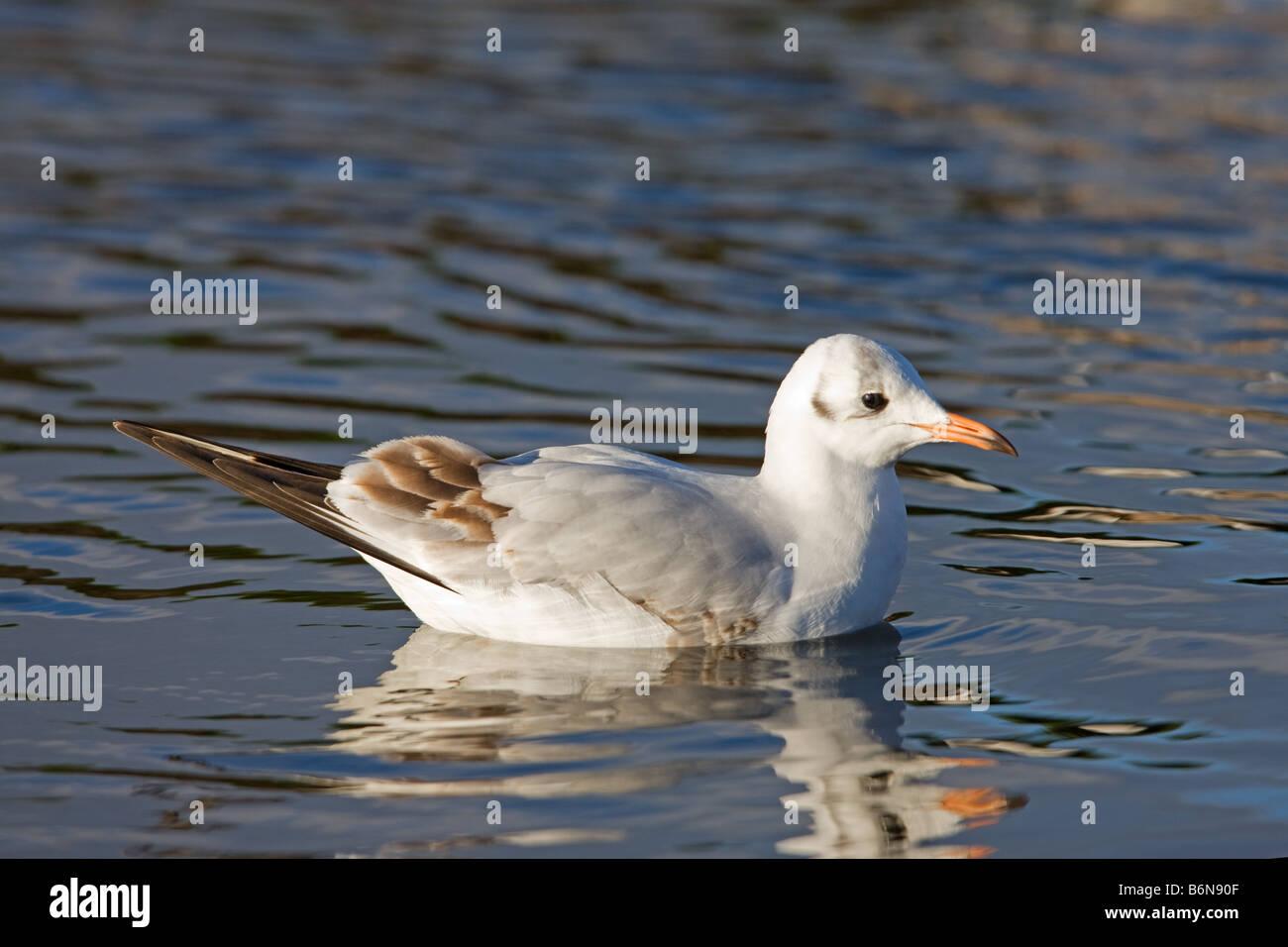 Black-headed Gull Larus ridibundus immature in 1st winter plumage swimming - Stock Image