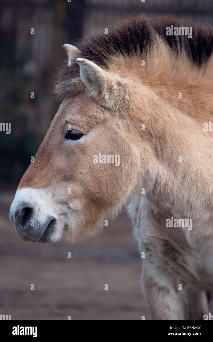 Przewalski's horse - Equus ferus - Stock Image