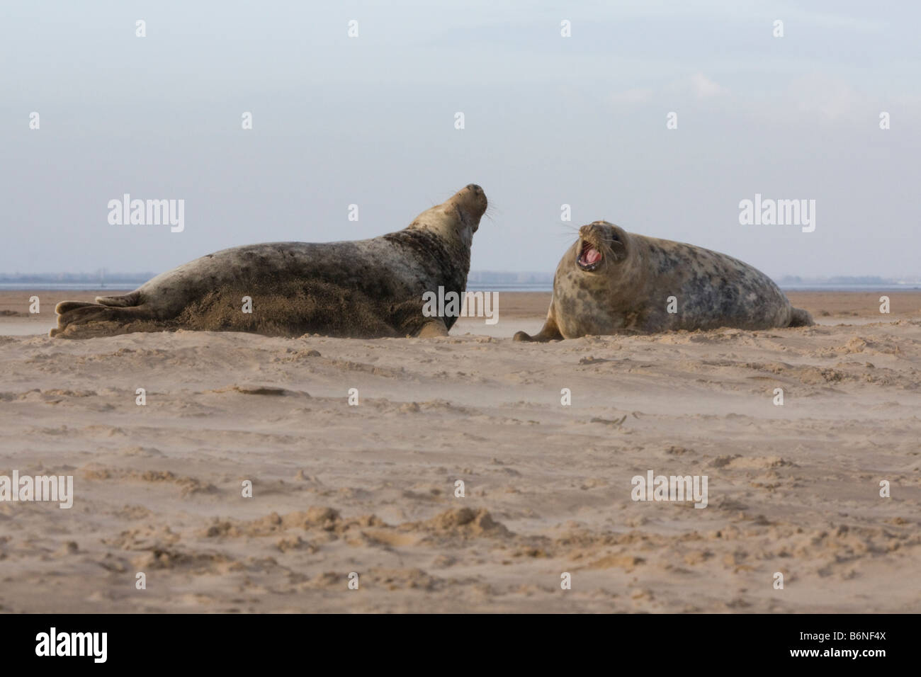 Grey Seal ( Halichoerus grypus ) , Two Males Squaring Off On The Beach At Donna Nook, Lincolnshire, UK - Stock Image