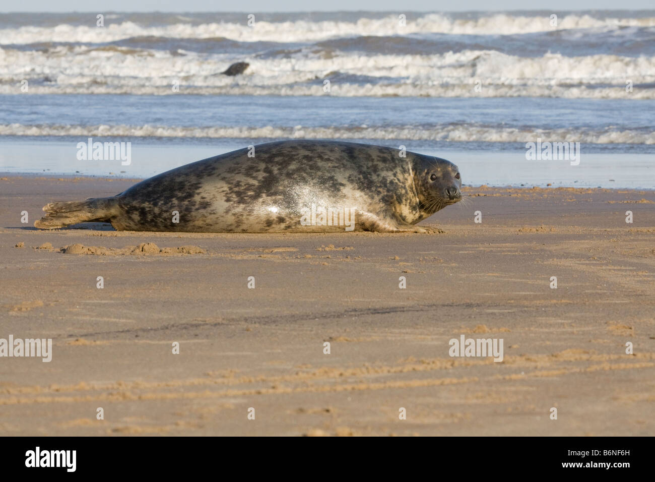 Grey Seal ( Halichoerus grypus ) Lying On The Beach At Donna Nook, Lincolnshire, UK Stock Photo