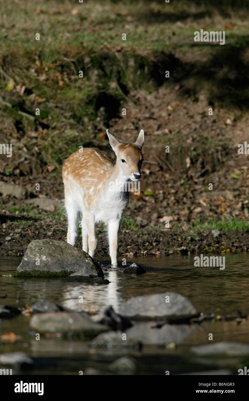 Young Fallow Deer Dama dama crossing stream Bradgate park Leicestershire - Stock Image