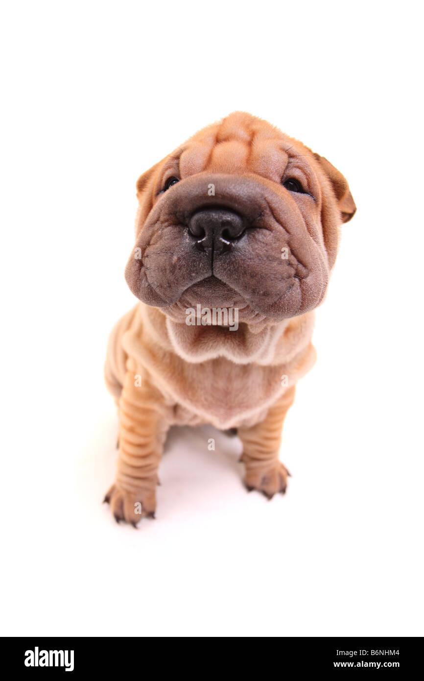 Sharpei puppy - Stock Image