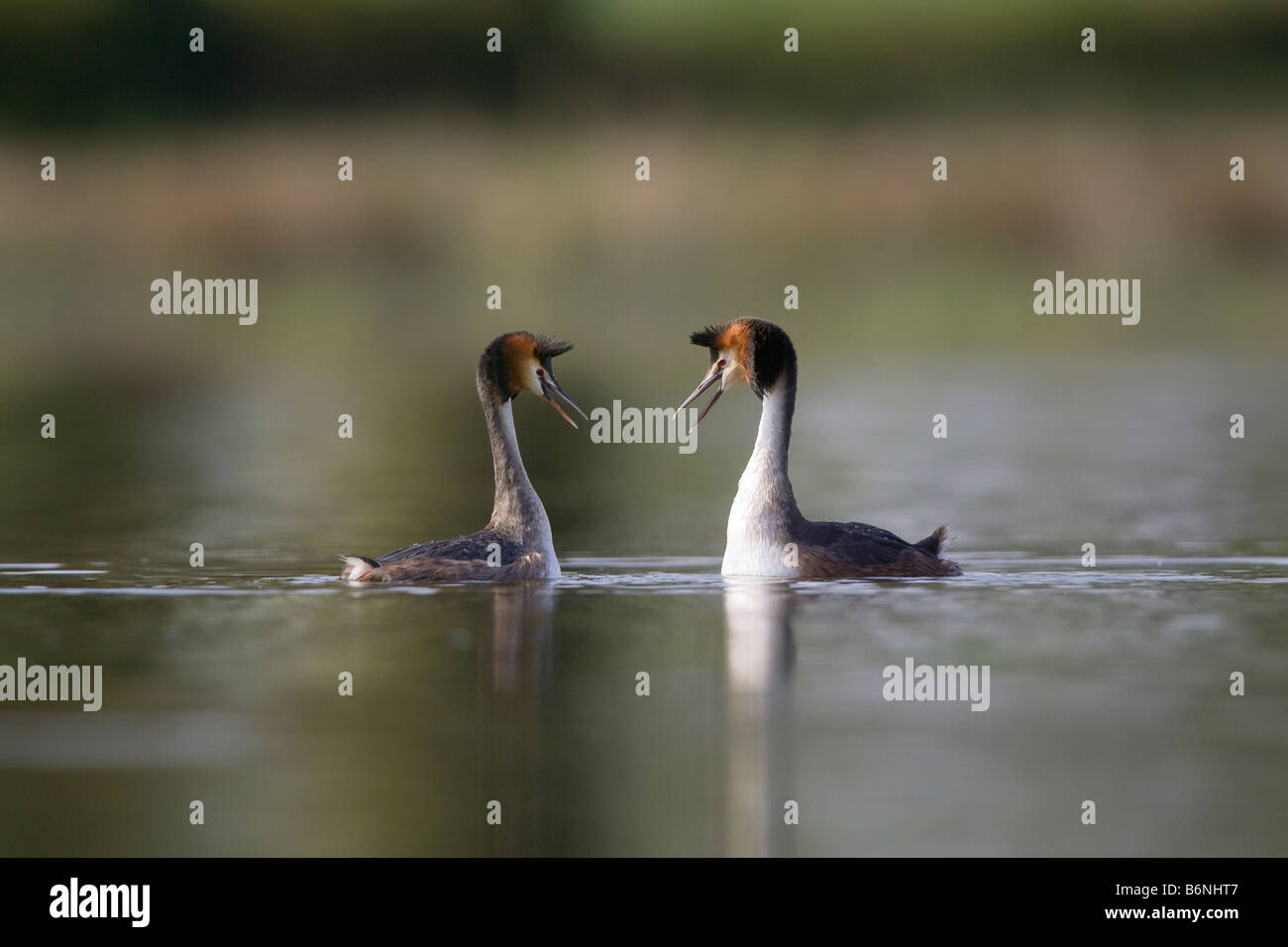 2 adults face to face with an attitude of courtship display Stock Photo