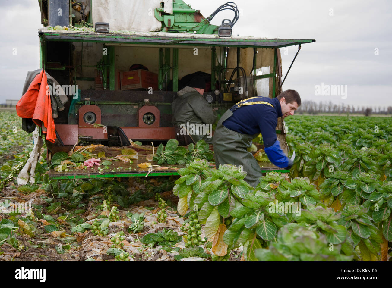 Grower and farm workers harvesting Brussels sprouts