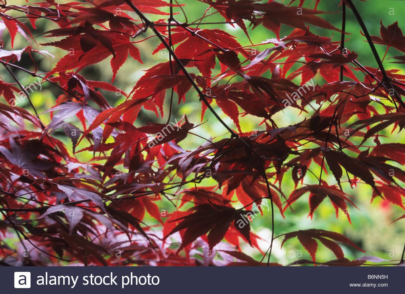Japanese Maple Acer palmatum Effigy - Stock Image