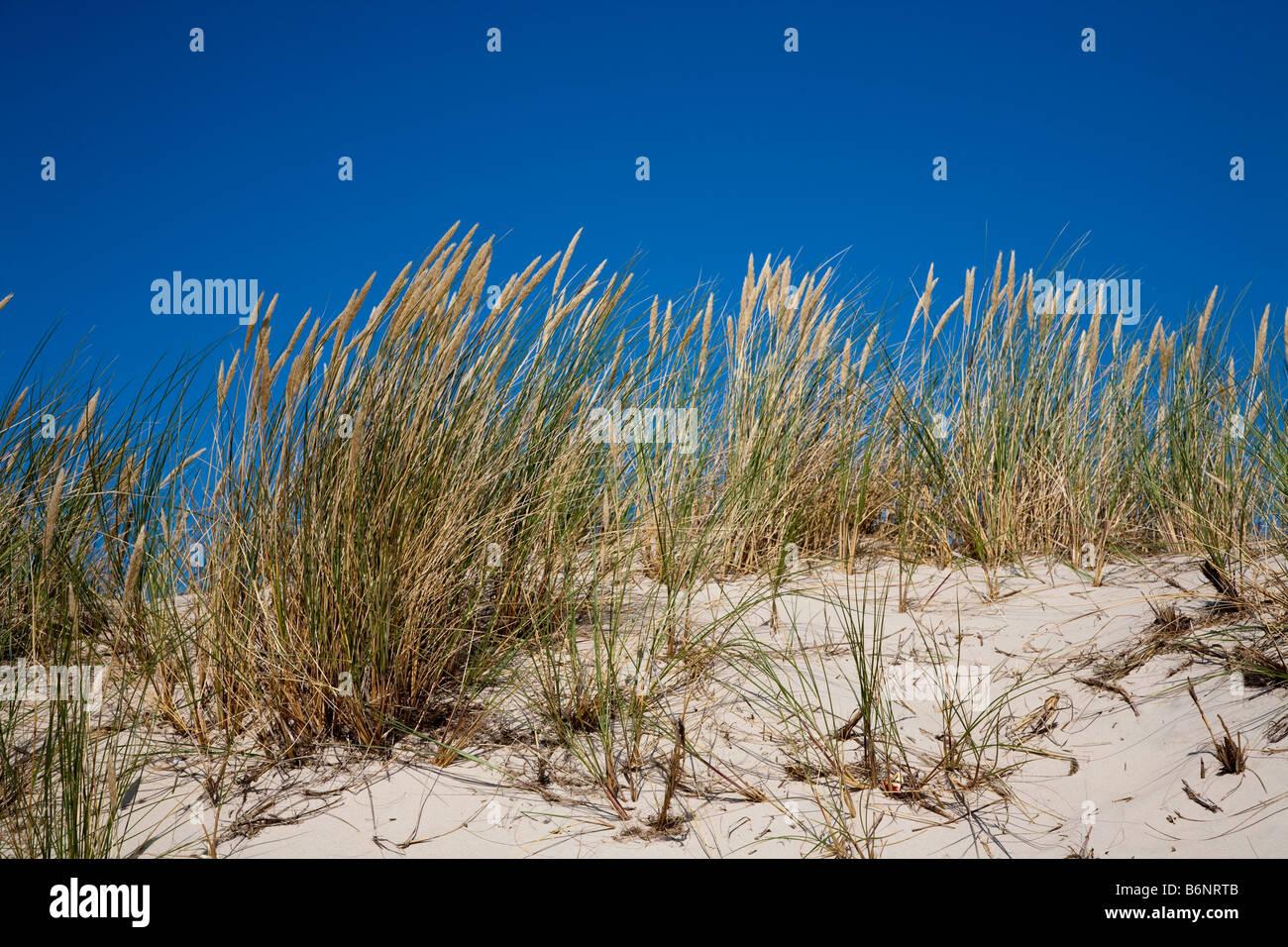Marram grass Ammophilia arenaria preventing dune erosion in Lacka Gora dunes Slowinski national park Leba Poland - Stock Image