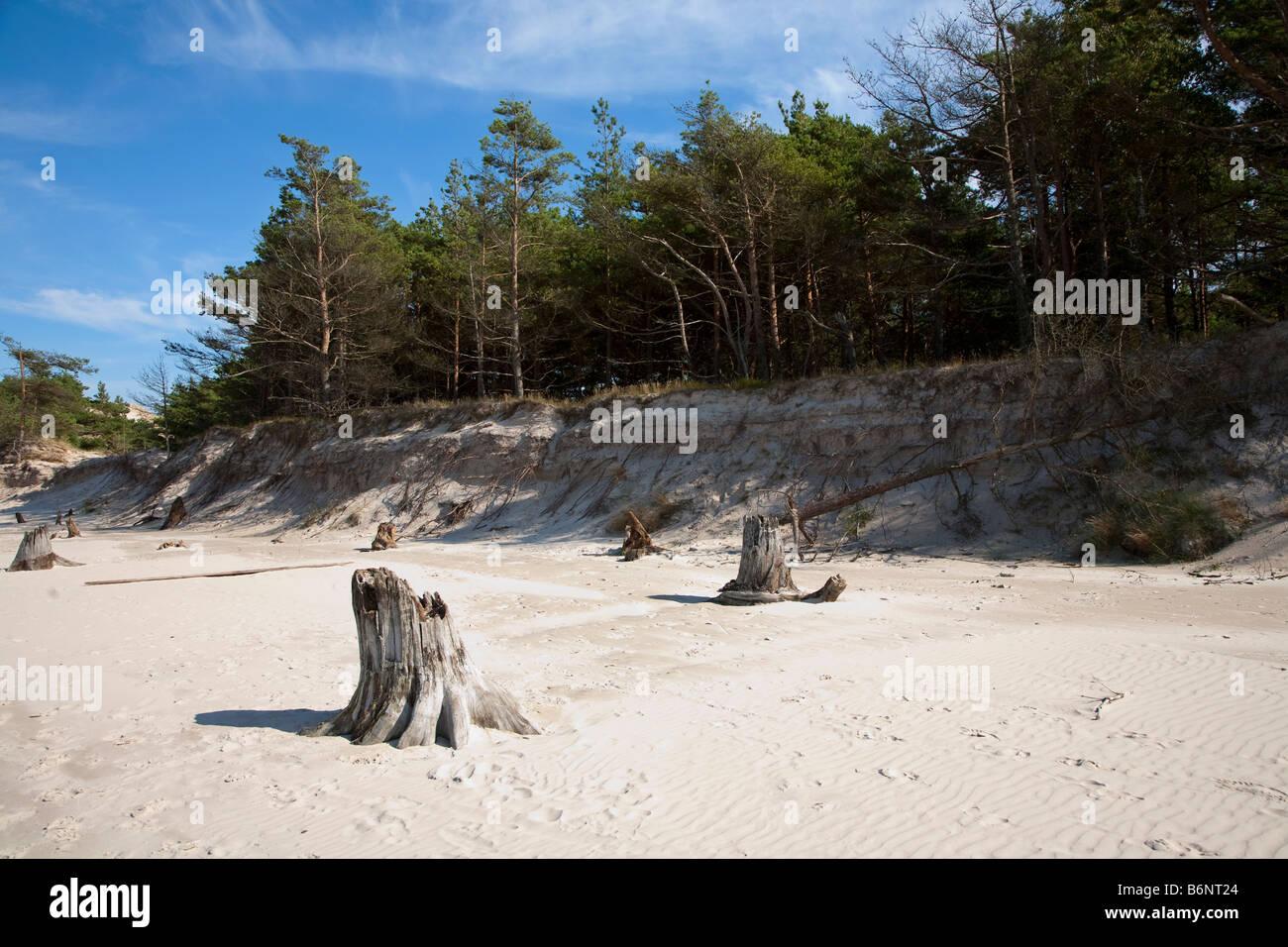 Dead tree stumps in beach uncovered by dune erosion Slowinski national park Leba Poland - Stock Image