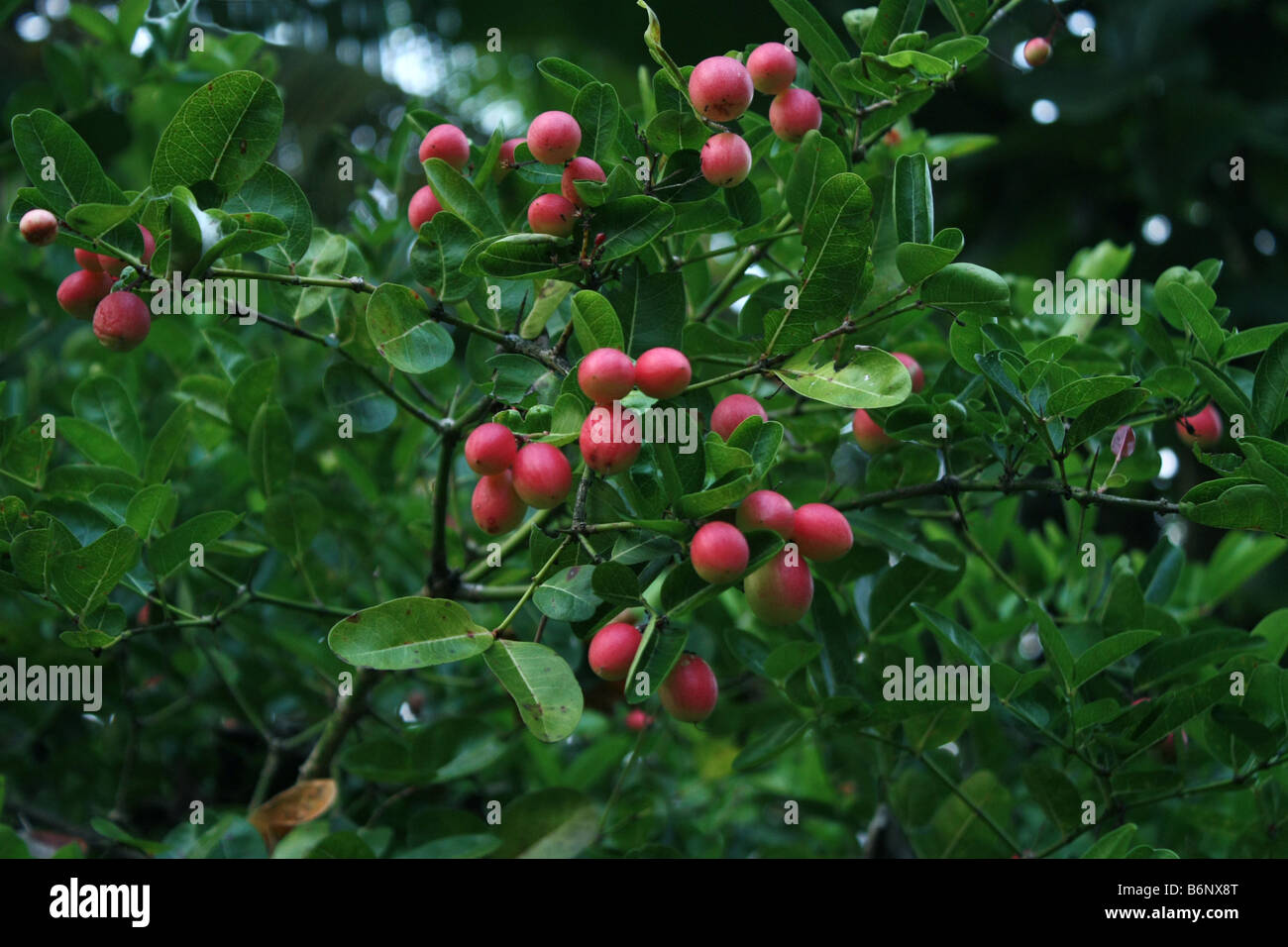 Cherry tree with fruits [RF] - Stock Image