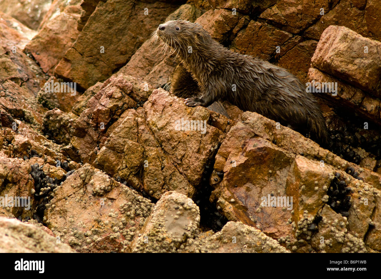 MARINE OTTER Lontra felina Previously Lutra felina Paracas National Park Peru young ENDANGERED - Stock Image