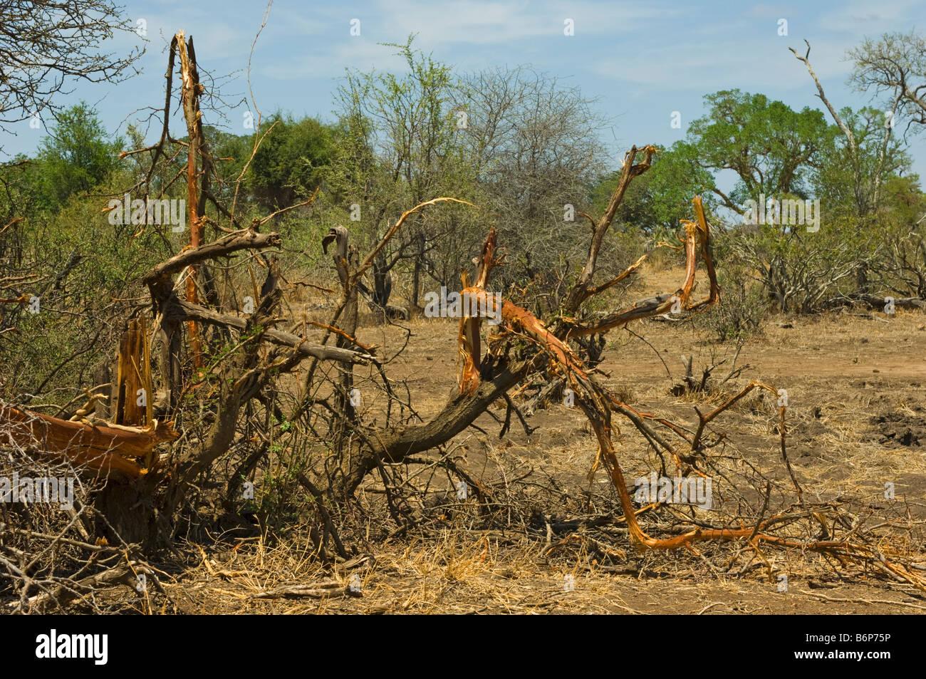 elefant s work tree bush destroyed destroy wildlife wild Elefant elephant loxodonta africana south-Afrika south - Stock Image