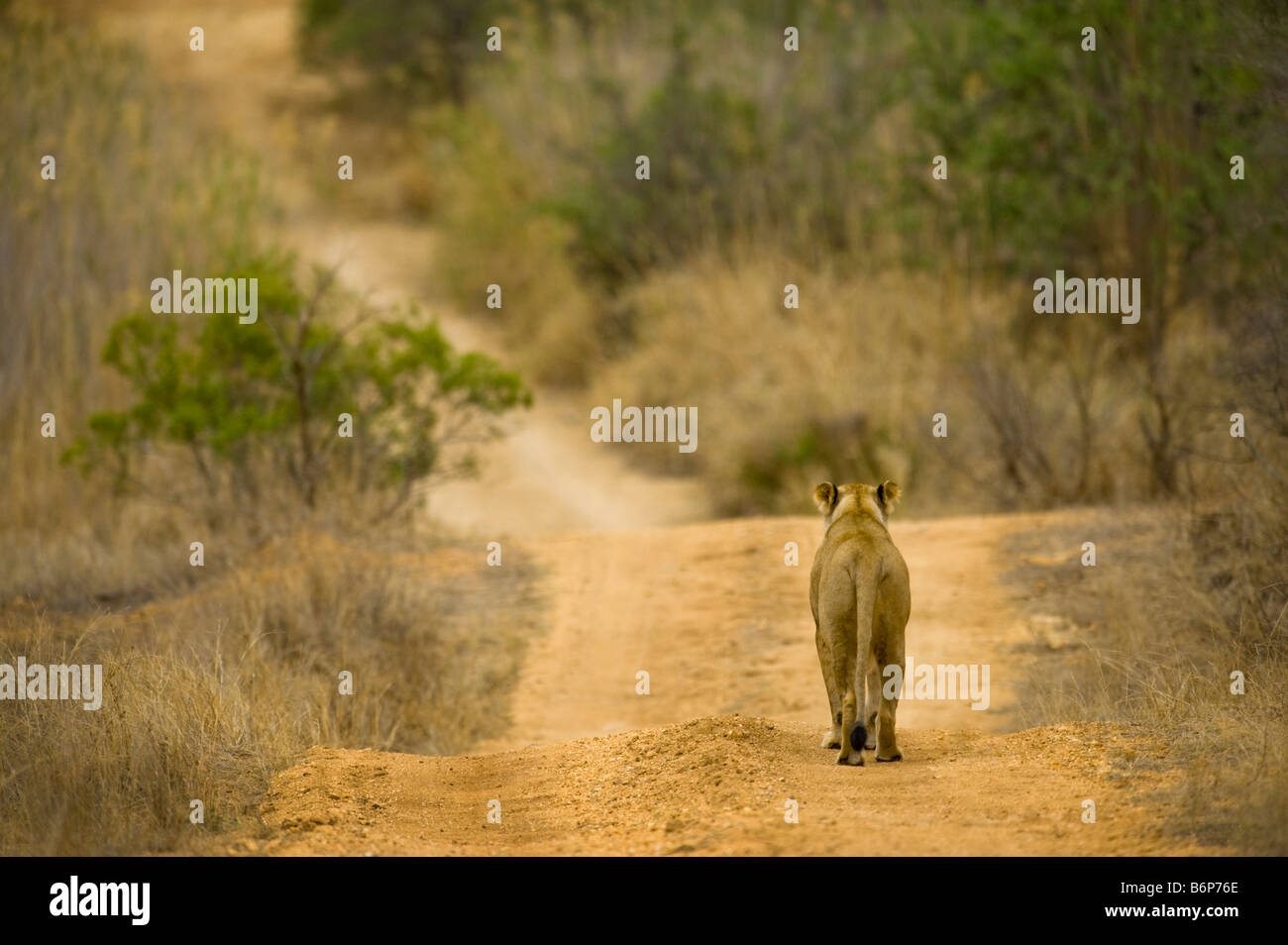 wildlife wild  lion female going away backside footprint ball of foot way road panthera leon south-Afrika south - Stock Image