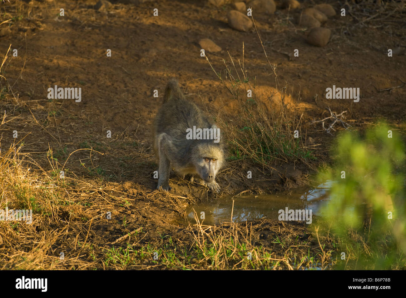 wildlife wild chacma Baboon PAPIO URSINUS primate monkey drink drinking water at waterhole water hole south-Africa - Stock Image