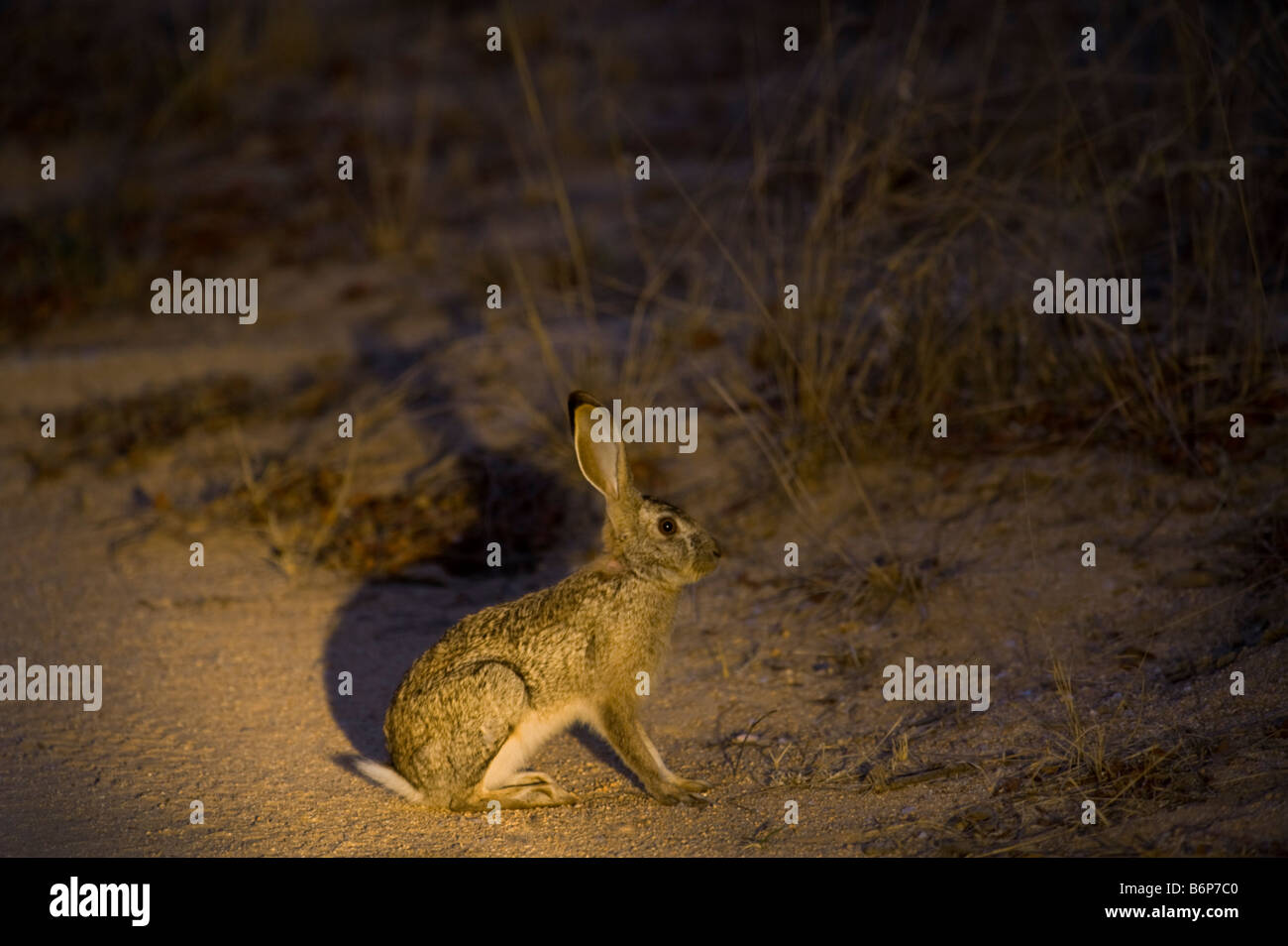 wild SCRUB HARE Lepes saxatilis at night roadside nocturnal animal south-Afrika desert south africa crossing road - Stock Image