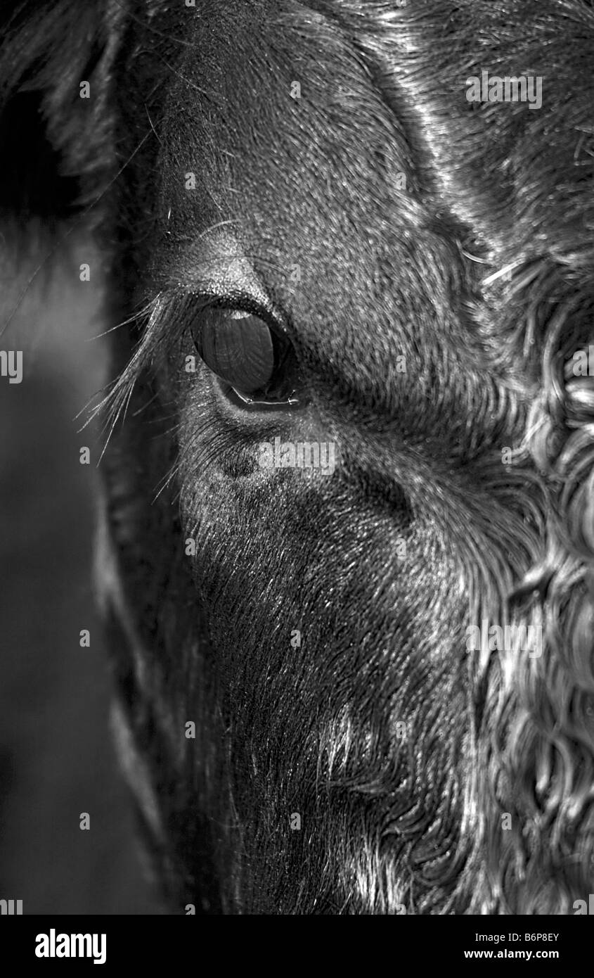 Close up black and white image of an Aberdeen Angus Calf Peak District September 2008 - Stock Image