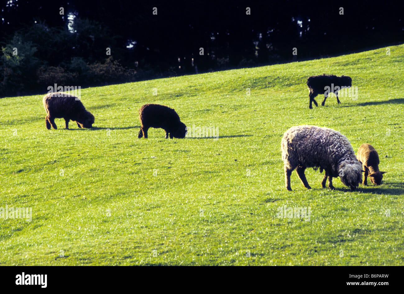 One white sheep among group of black sheep, Australia - Stock Image