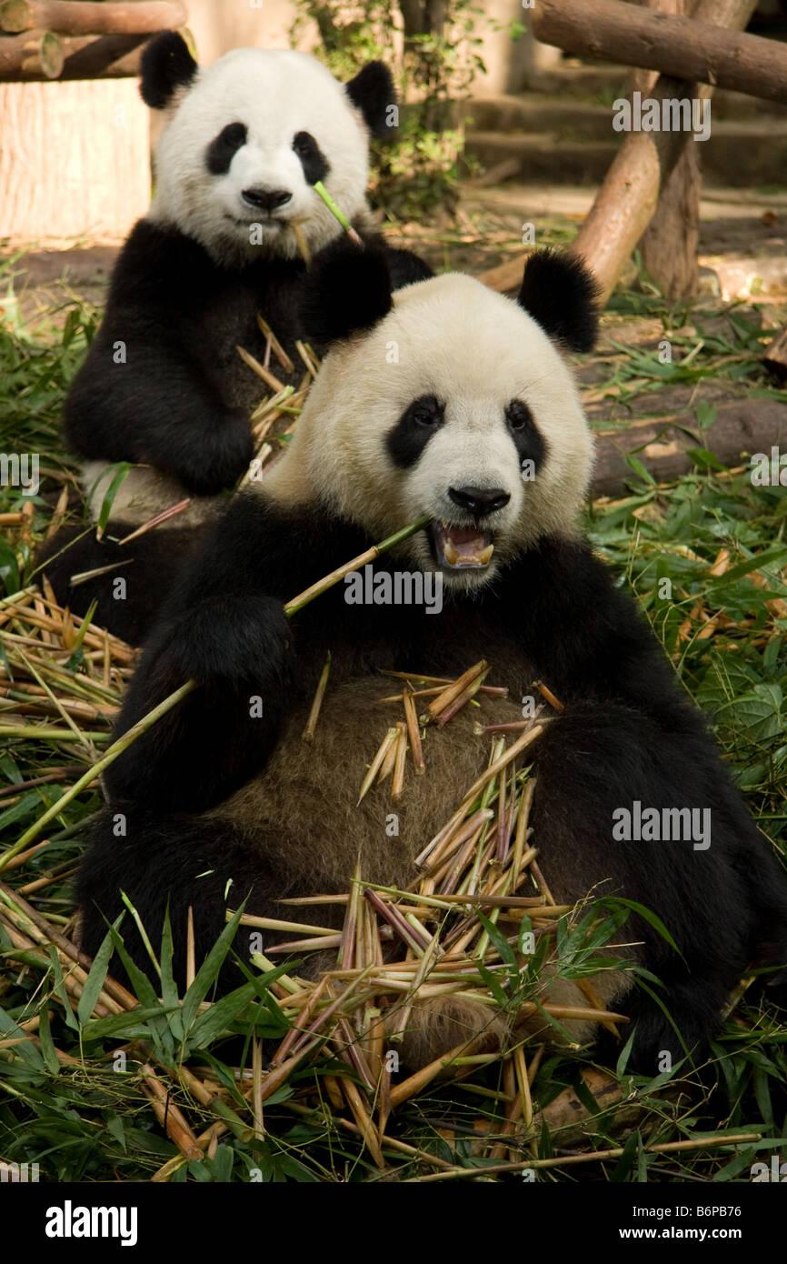 Two Panda bears inside Chengdu' s Panda breeding center in China - Stock Image