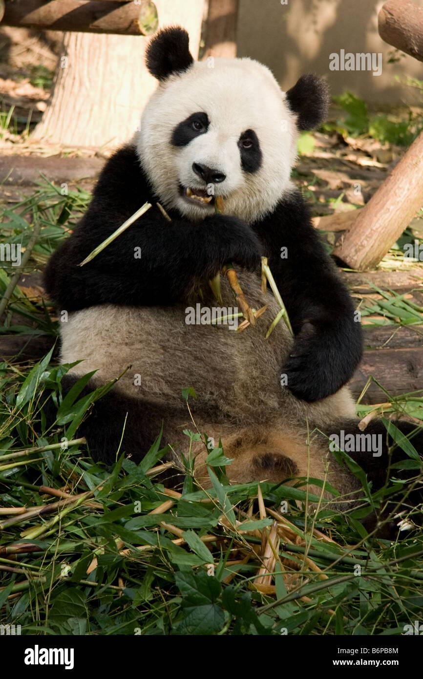Cute Panda feeding on Bamboo in Chengdu China - Stock Image
