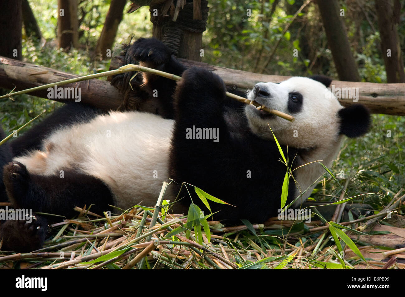 Panda bear eating bamboo inside Chengdu' s breeding center - Stock Image