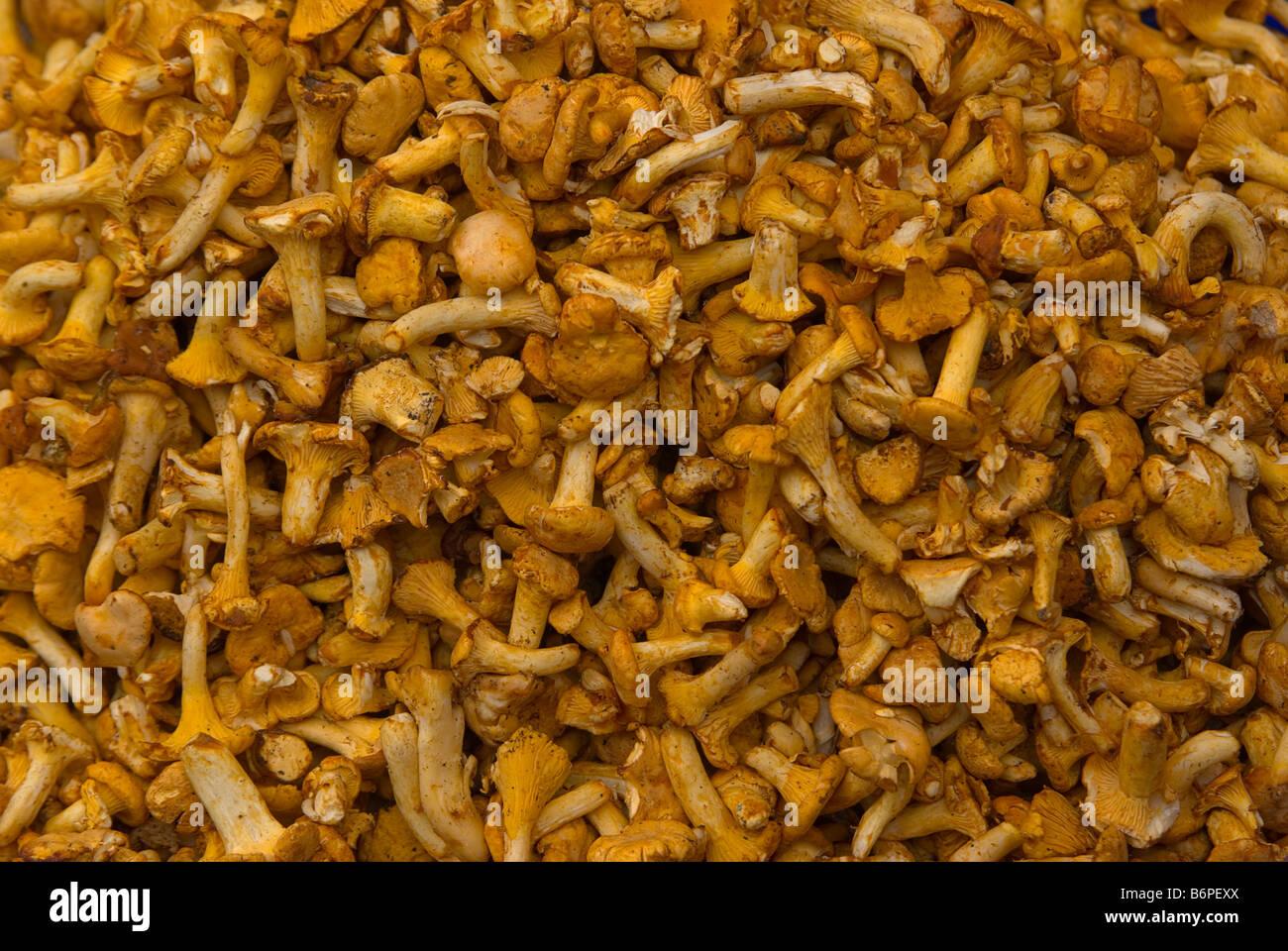 Golden chanterelle Cantharellus cibarius - Stock Image