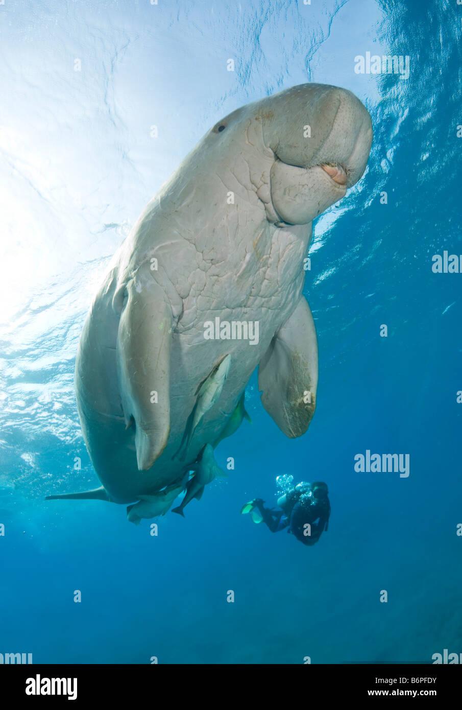 Dugong or sea cow ascending to the surface to breathe. - Stock Image
