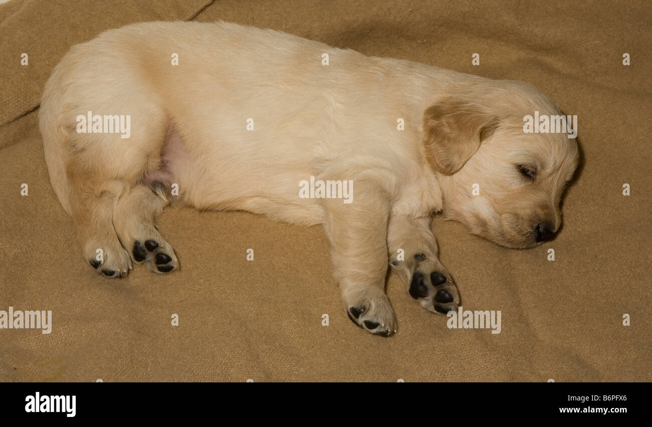 Buster Golden Retriever male puppy 4 weeks old Yorkbeach Sandblaster lies contently on a brown woollen blanket - Stock Image