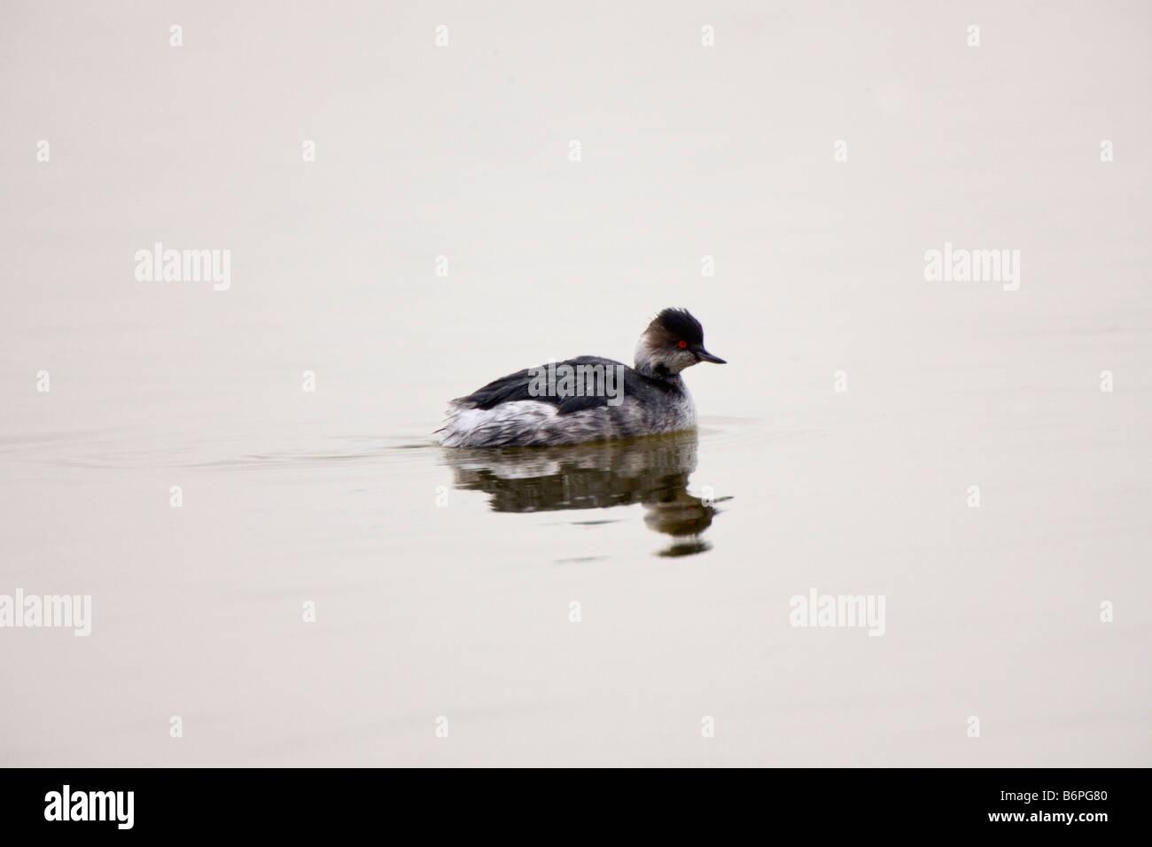 Black-necked Grebe Swimming, Walvis Bay, Namibia - Stock Image