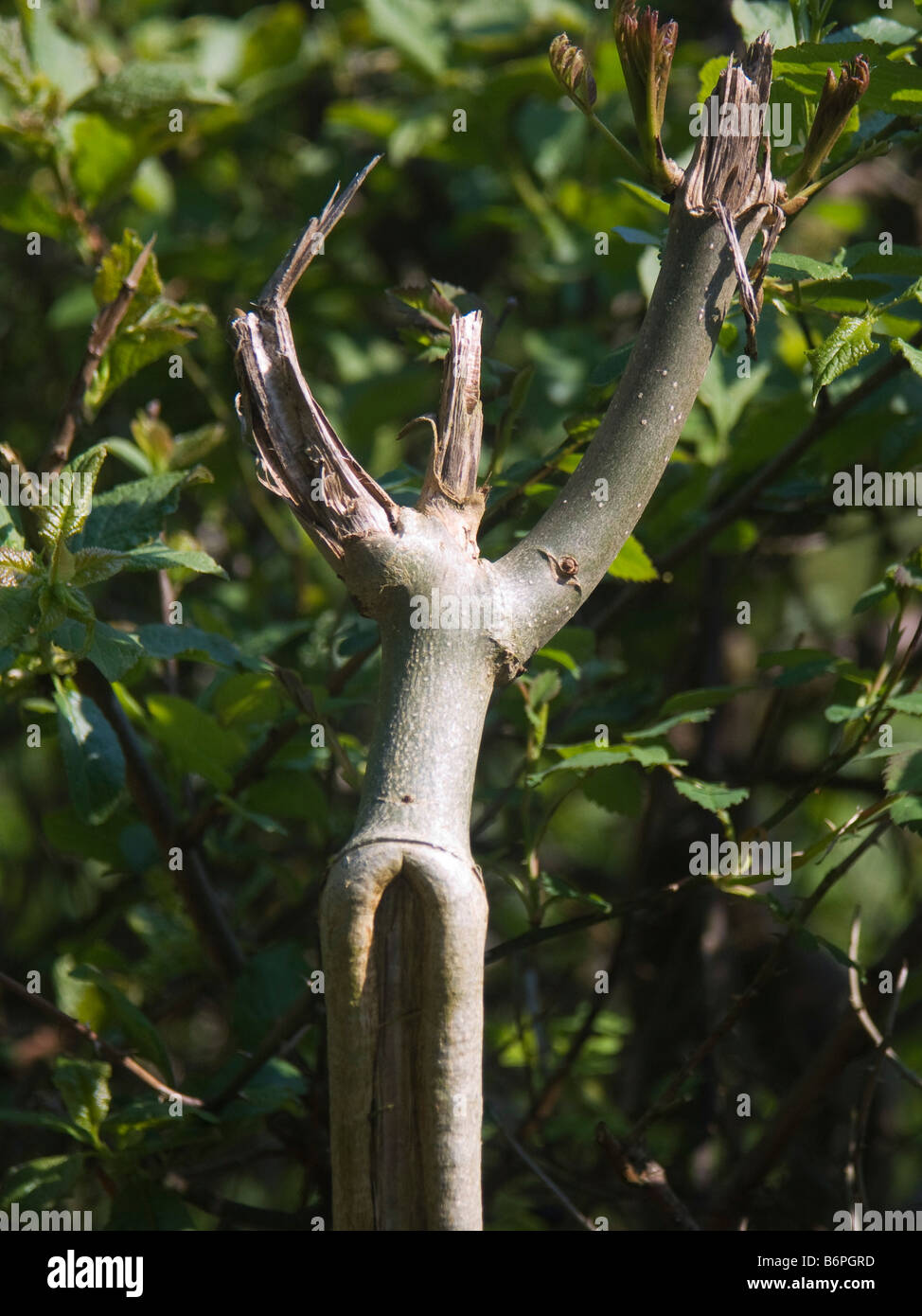 Broken branch resembling a dancer - Stock Image