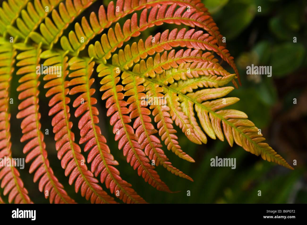 Colorful fern leaf in Volcano National Park, Big Island Hawaii. - Stock Image