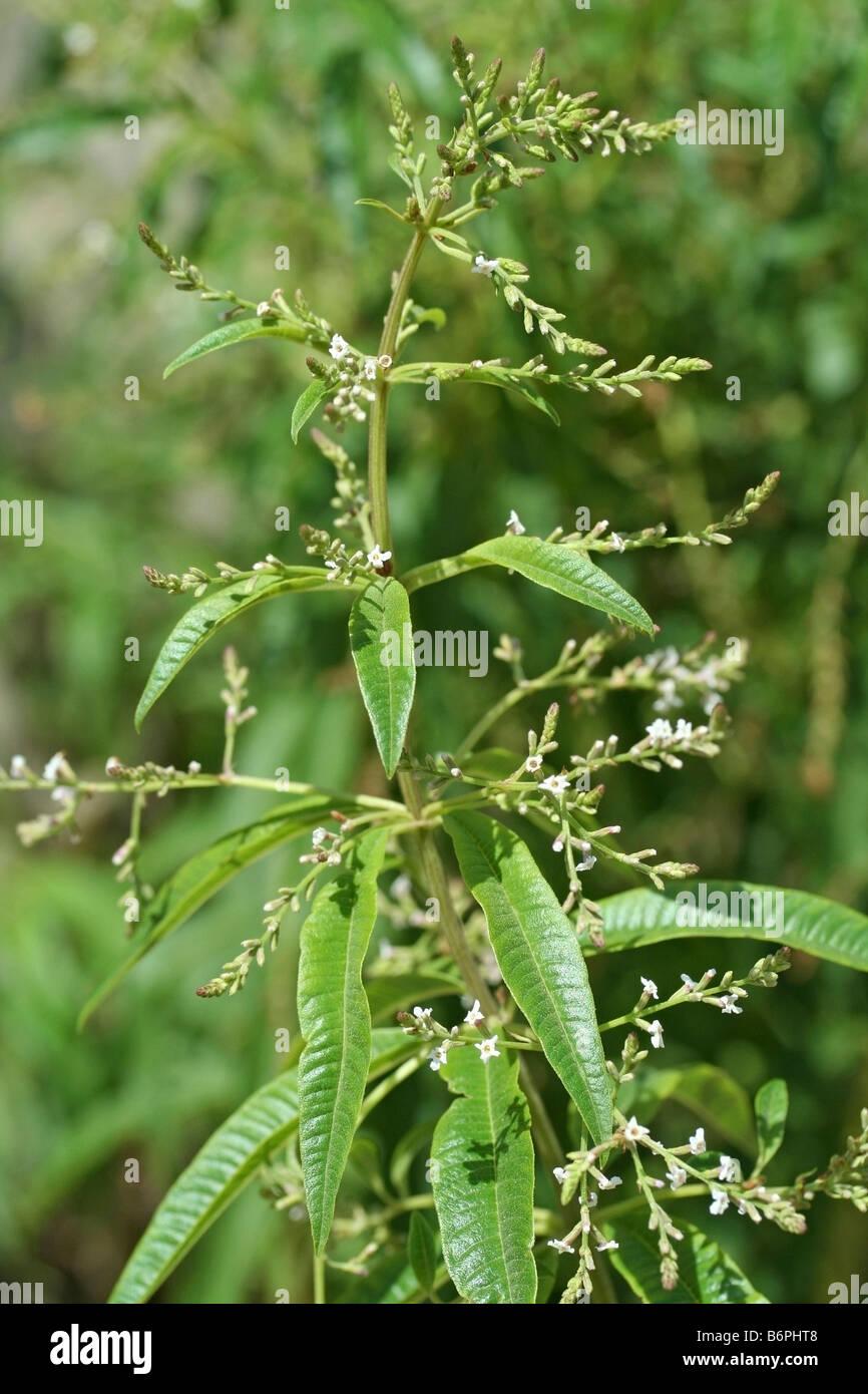 Lemon verbena Lippia citriodora or Aloysia triphylla - Stock Image