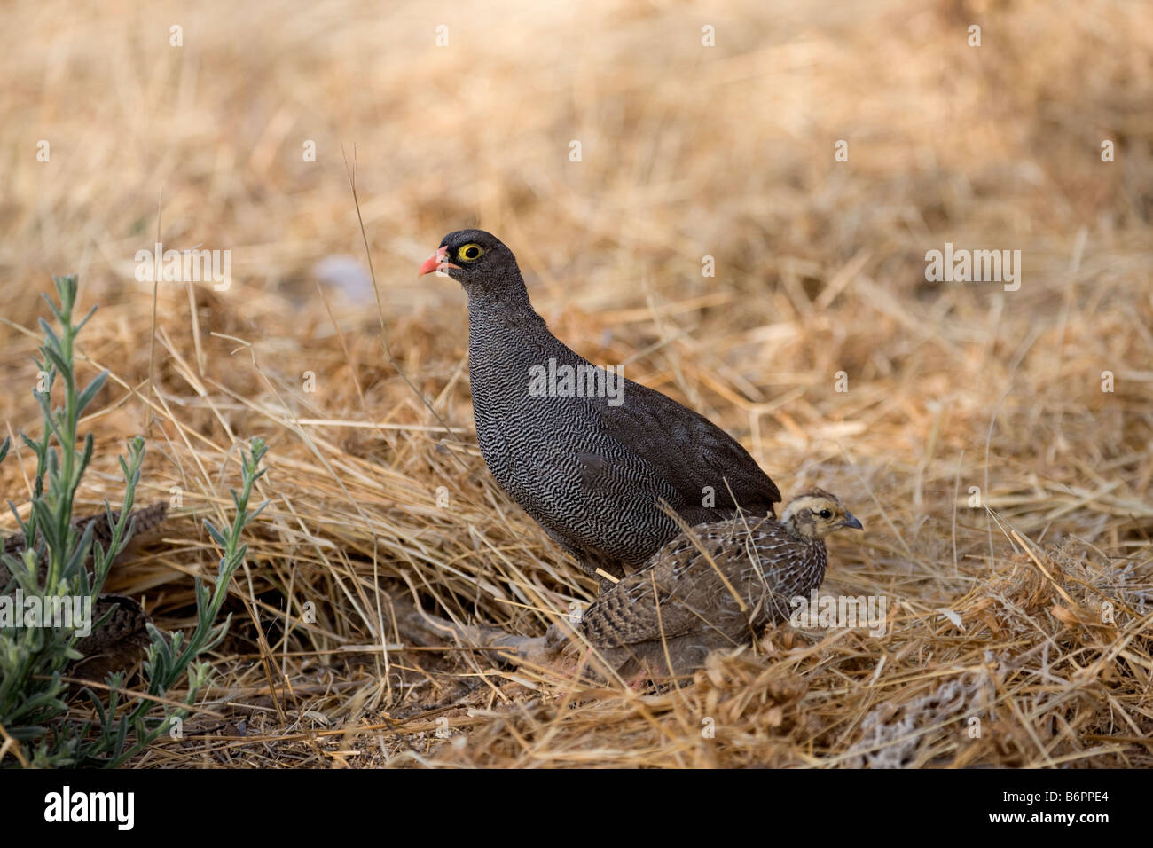 Red-billed Francolin and her Chick, Okonjima, Namibia - Stock Image