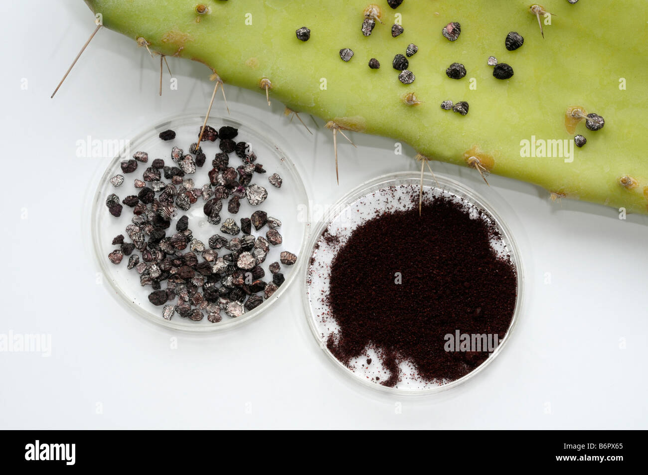 Cochineal insect (Dactylopius coccus). Dried females and powder for color production - Stock Image