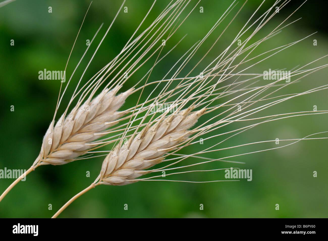 Timopheevs Wheat (Triticum timopheevii), ears Stock Photo