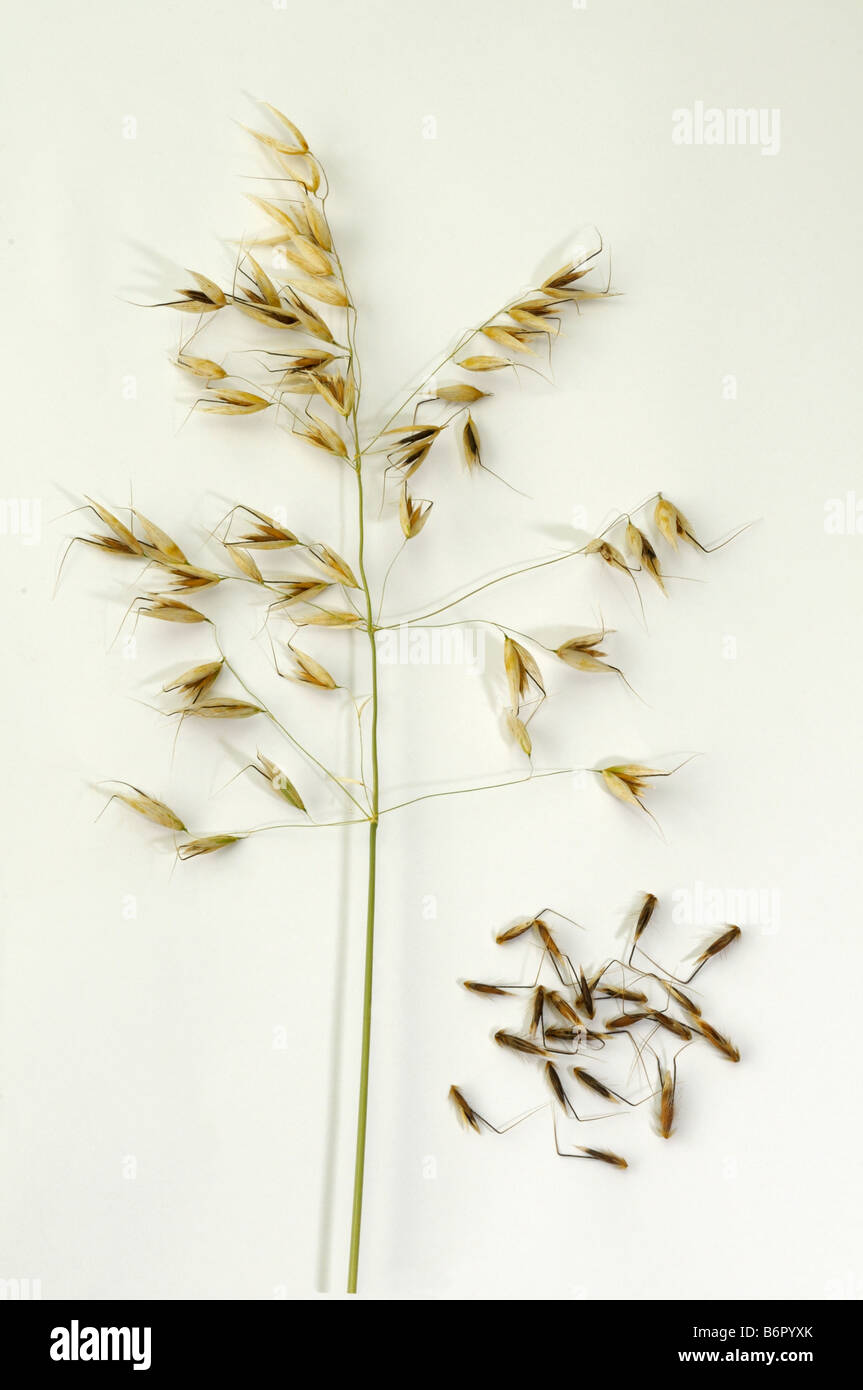 Common Wild Oat (Avena fatua), stem with panicle and seeds studio picture Stock Photo